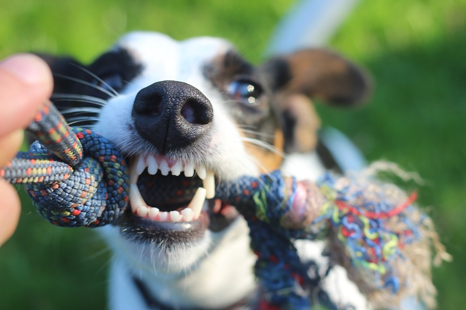 Popular Dog Breeds That Are Not Meant for Home